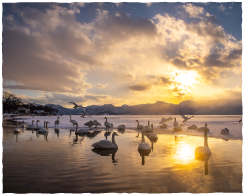 The winter sands become a haven for swans