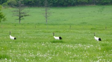 【鶴居村発バスツアー】鶴居村のタンチョウと湿原、村人に出会う春の旅