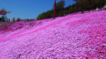 【札幌発着】滝上の芝桜をバスで見に行こう!往復バス&港町・紋別宿泊セットプラン