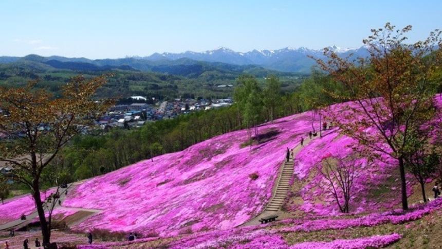 見渡すかぎりのピンクの丘、滝上の芝桜