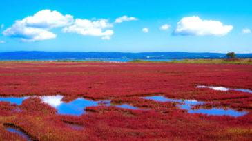 能取湖サンゴ草