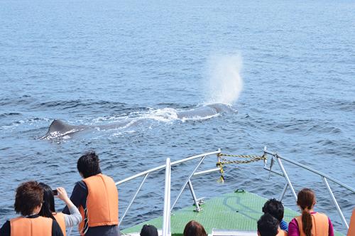 北海道☆知床・羅臼☆ ホエールウォッチング【クルーズ】観光クルーズ船はまなす