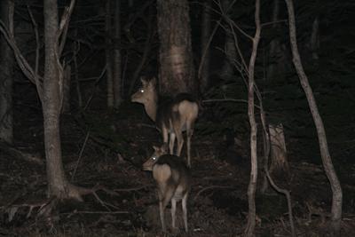 夜の動物ウォッチング~エゾシカやキタキツネを見に行こう!~